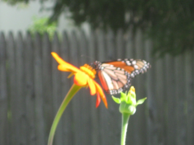 A Monarch buttefly visitor in my cutting garden