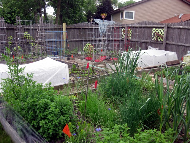 I just finished planting the Kitchen Garden today. You can see a few the blue Bachelor's Button blooms in the herb bed in the foreground of this picture. 6/5/13