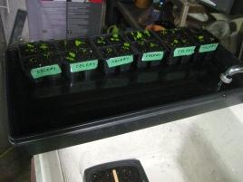Watering New Transplants