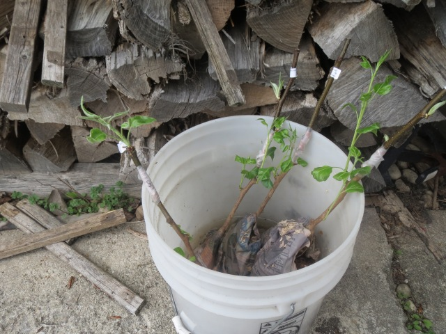 Asian Pear Tree Grafts - 2016
