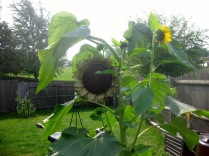 Sunflower Replacement + Sideshows