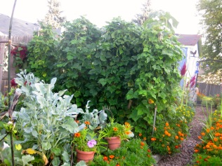 Broccoli and Bean Beds