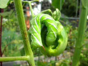 My First Tomato Hornworm, 8/12/15