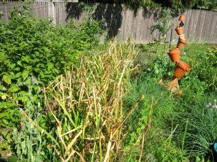 Garlic Ready to Harvest - 7/31/15