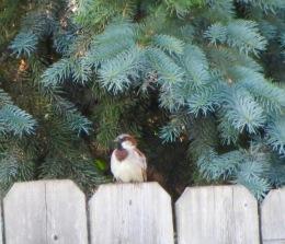 Mr. House Sparrow