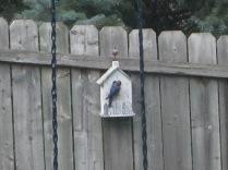Mr. Bluebird checking on the nest. 6/20/10