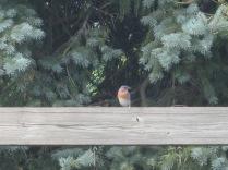 Mr. Bluebird 6/20/10