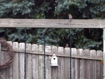 They're building a nest! That's Mrs. Bluebird (on the play set beam) bringing materials for it while Mr. Bluebird is keeping a watch out on the fence by their home. 6/11/10