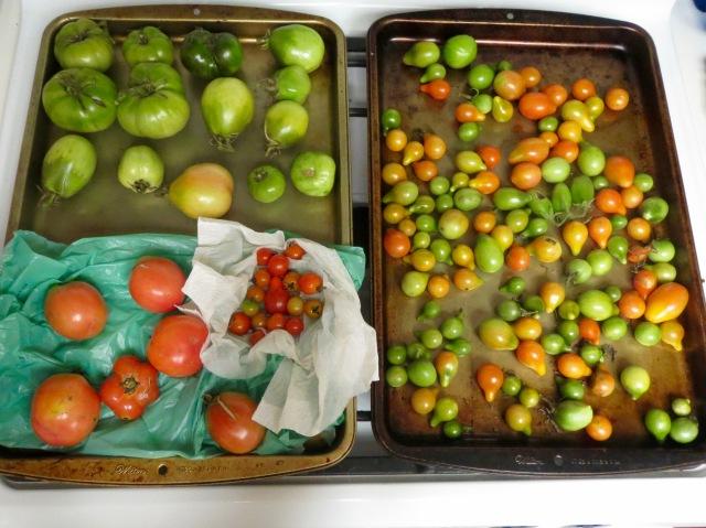 Final Tomato Harvest - 11/8/16