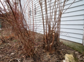 AFTER pruning mock orange shrubs - 2/6/17