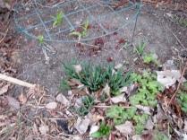 Peony & Daffodils
