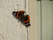 Red Admiral - 4/13/17