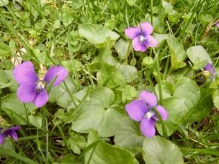 Violets - 4/21/17