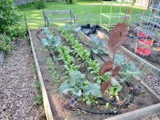 Broccoli bed planted with leeks, kale, and radishes - 6/16/16