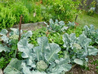 Broccoli bed planted with leeks, kale, and radishes - 7/16/16