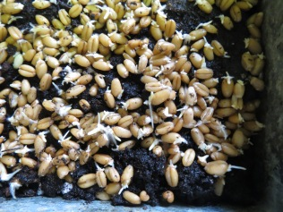 Wheat grass seeds germinated - 3/31/17