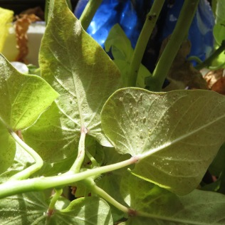Whiteflies on Sweet Potato Vine 4/7/16