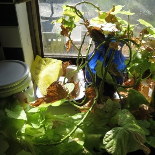 Overwintering Cuttings 4/7/17