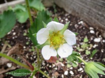 First STRAWBERRY bloom!