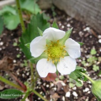 First STRAWBERRY bloom!