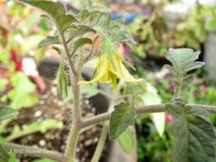 Tomato Bloom 5/20/17