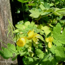 Greater Celandine Poppy