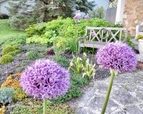 Gladiator Alliums