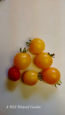 Tomatoes from Container