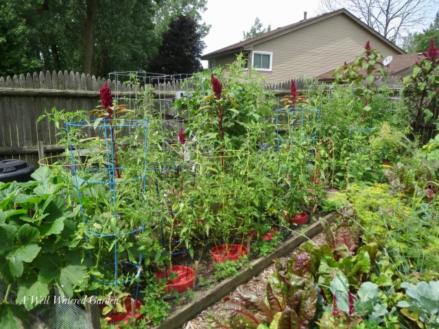 Tomato plants, tomato cages, tomato saucers, tomatoes in raised beds