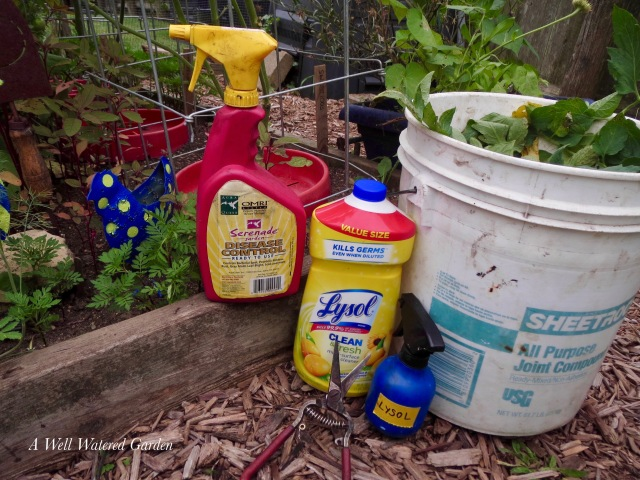 Serenade for tomato disease, Lysol for pruners, bucket of diseased tomato foliage